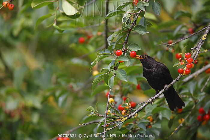 Eurasian blackbird (Turdus merula) feeding on cherries, Picardie, France, June.