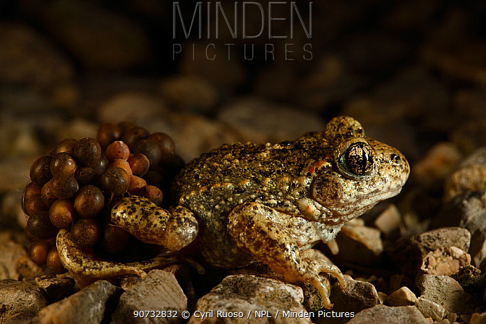Midwife Toad (Alytes obstetricans) male carrying eggs wrapped around his back legs until they hatch, Burgundy, France, June.
