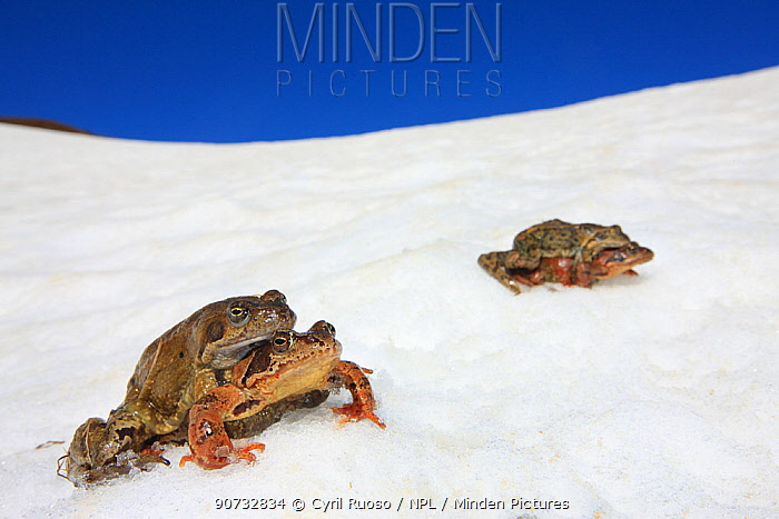 Common frog (Rana temporaria) migration during spring, two pairs moving to a pond in amplexus. Alps, France, May.