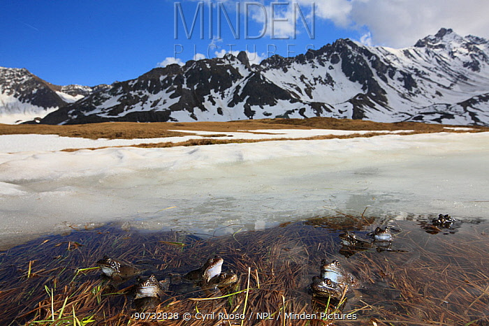 Common frog (Rana temporaria) group on ice covering parts of breeding pond, Alps, France, May.