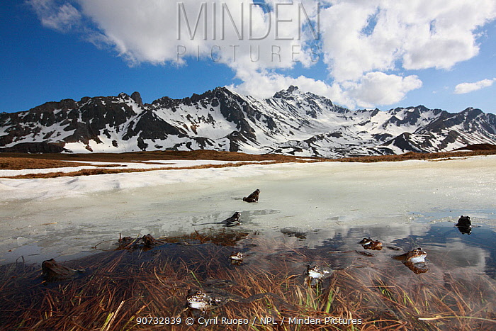Common frog (Rana temporaria) group on ice covering breeding pond, Alps, France, May.