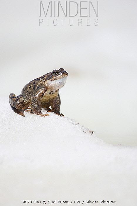 Common frog (Rana temporaria) male calling alpine breeding pond, Alps, France, May.