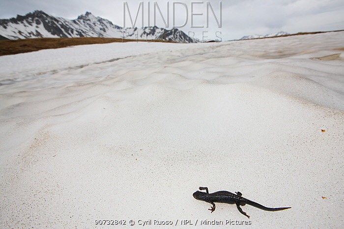 Alpine newt (Ichthyosaura alpestris) migrating to breeding pond over snow, Alps, France, May.