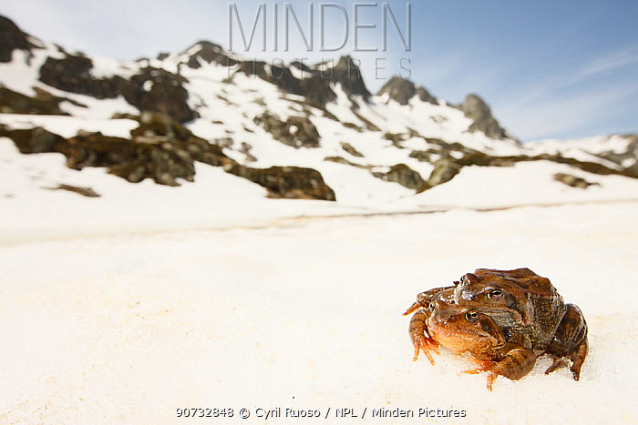 Common frog (Rana temporaria) pair moving in amplexus to alipne breeding pond, French Alps, France, May.