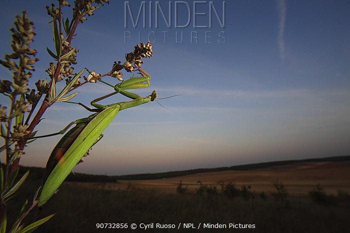 European praying mantis (Mantis religiosa) and habitat, Burgundy, France, September.