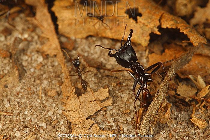 Driver ant (Dorylus sp) Bateke Plateau NP, Gabon.
