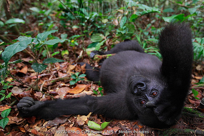 Western lowland gorilla (Gorilla gorilla gorilla) orphan juvenile age 5 years resting, PPG  reintroduction project managed by Aspinall Foundation, Bateke Plateau National Park, Gabon, June 2011