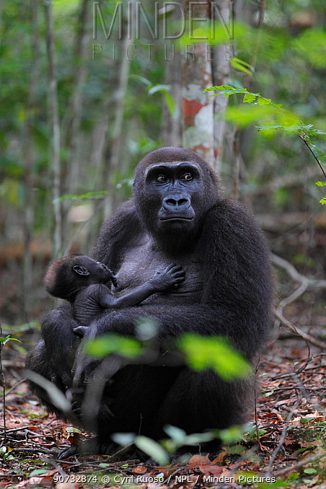 Western lowland gorilla (Gorilla gorilla gorilla) reintroduced female suckling her young infant, born in the wild. Reintroduction project, PPG, managed by Aspinall Foundation, Bateke Plateau National Park, Gabon, June 201