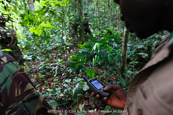 Aspinall Foundation workers tracking reintroduced Western lowland gorillas (Gorilla gorilla gorilla). PPG  reintroduction project managed by Aspinall Foundation, Bateke Plateau National Park, Gabon, June 2011