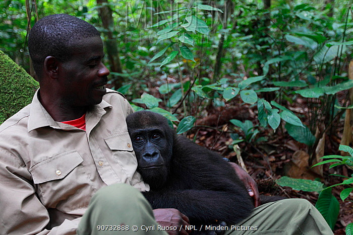 Aspinall Foundation worker hugging Western lowland gorilla (Gorilla gorilla gorilla) orphan juvenile age 5 years, PPG reintroduction project  managed by Aspinall Foundation, Bateke Plateau National Park, Gabon, June 2011