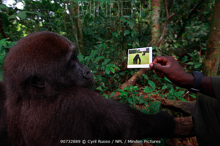 Aspinall Foundation worker showing Western lowland gorilla (Gorilla gorilla gorilla) juvenile, age 5 years a picture of itself in zoo with mother. PPG  reintroduction project managed by Aspinall Foundation, Bateke Plateau National Park, Gabon, June 2011
