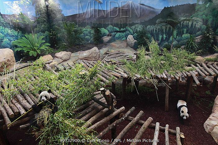 Giant panda (Ailuropoda melanoleuca) Huan Huan and Yuan Zi, in Beauval Zoo, France.