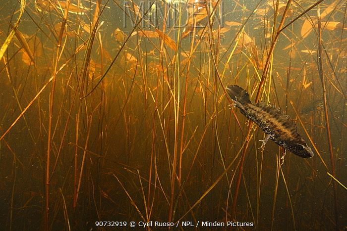 Crested newt (Triturus cristatus carnifex) male in pond, Burgundy. France, April.