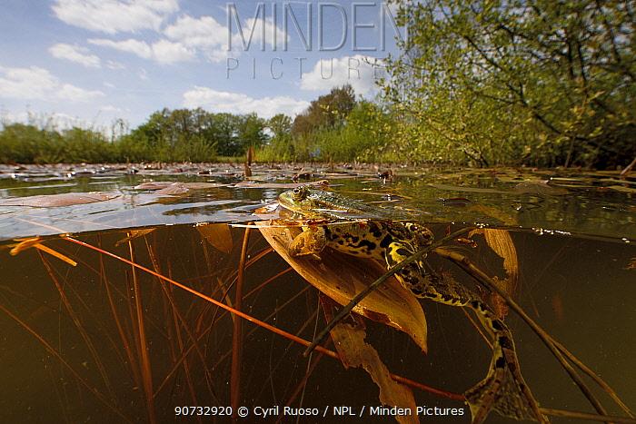 Frog (Pelophylax sp) in pond, Burgundy, France, April.