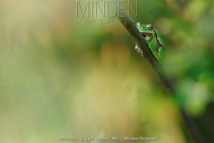 Common tree frog (Hyla arborea) resting on branch in day, Burgundy, France, April.