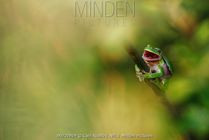 Common tree frog (Hyla arborea) yawning on willow branch during day time. Burgundy, France, April.
