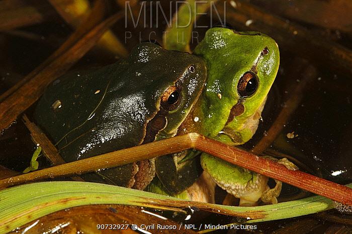 Common tree frog (Hyla arborea) pair in amplexus, Burgundy. France, April.