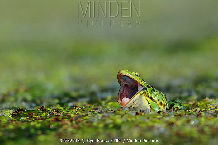 Frog (Pelophylax sp) in pondweed with mouth wide open, Burgundy, France, May.