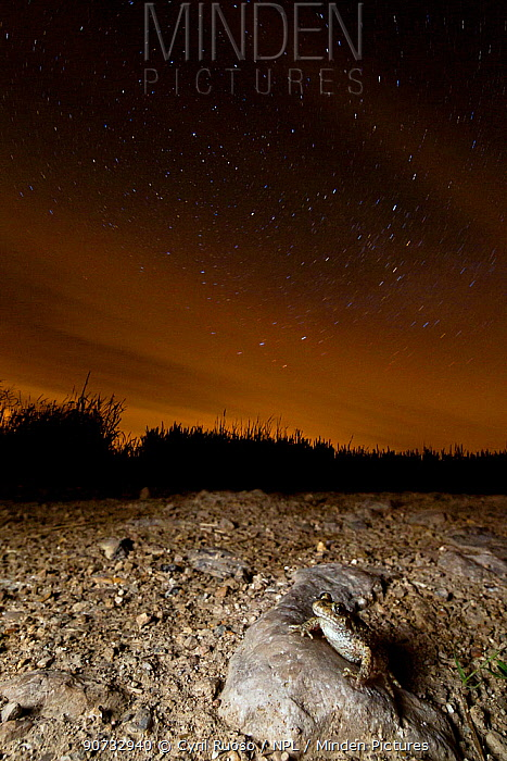 Midwife toad (Alytes obstetricans) at night with stars. Burgundy, France, May.