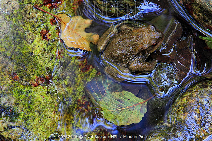 European Toad (Bufo bufo) Massane River, Alberes Mountains, Pyrenees, France, September.