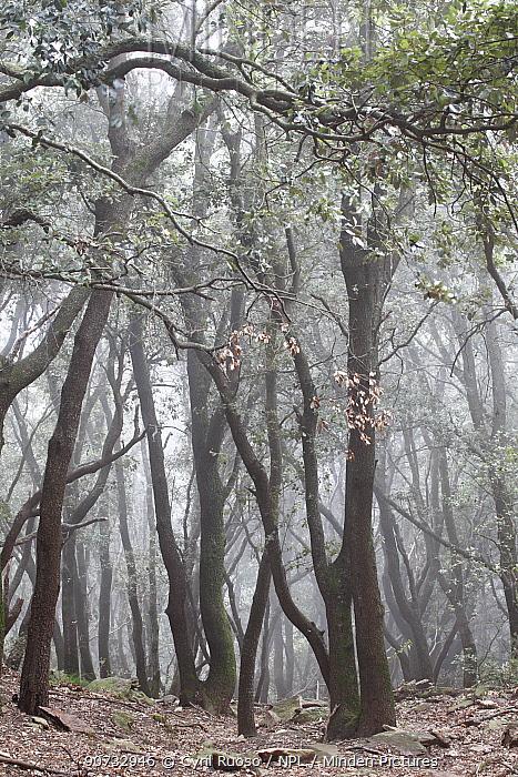 Holm oak trees (Quercus ilex) in fog, Alberes Mountains, Pyrenees, France