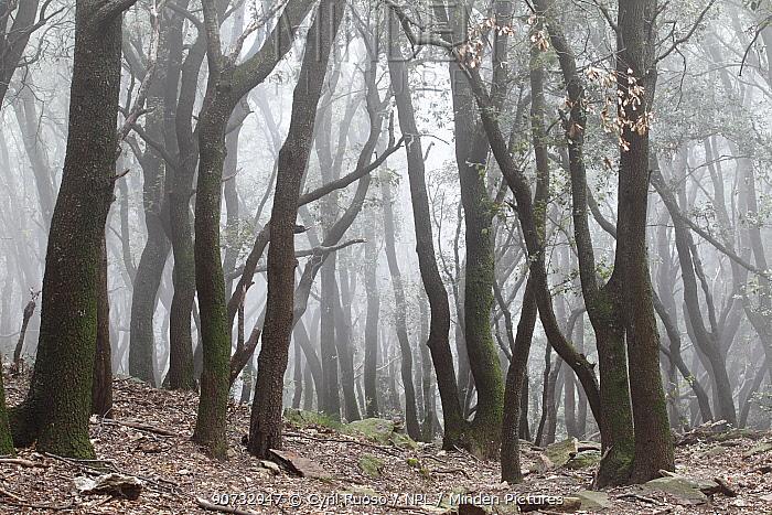 Holm oak tree (Quercus ilex) in fog. Alberes Mountains, Pyrenees, France, September.