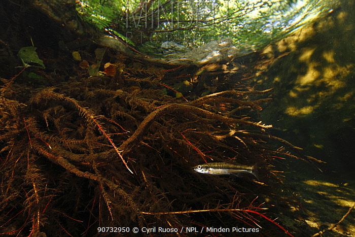 Common minnow (Phoxinus phoxinus) Massane river, Alberes Mountains, Pyrenees, France, September.