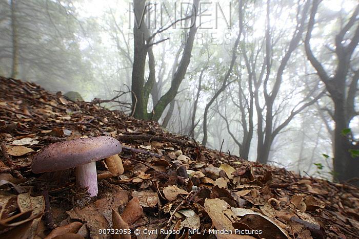 Charcoal burner fungus (Russula cyanoxantha), Alberes Mountains, Pyrenees, France, September.