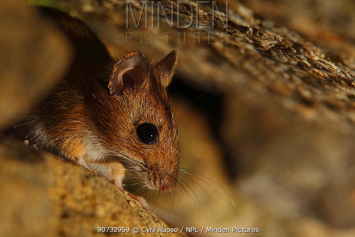 Yellow-necked mouse (Apodemus flavicollis) Alberes Mountains, Pyrenees, France, September.
