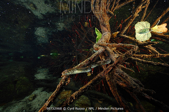 Viperine snake (Natrix maura) underwater, hunting for fish, Massane River, Alberes Mountains, Pyrenees, France, October.