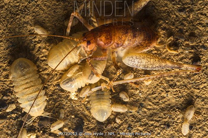 Spineless cave sphaeromatids  (Monolistra racovitzai) scavenging on a dead Cave Cricket (Troglophilus cavicola). Slovenia, April.