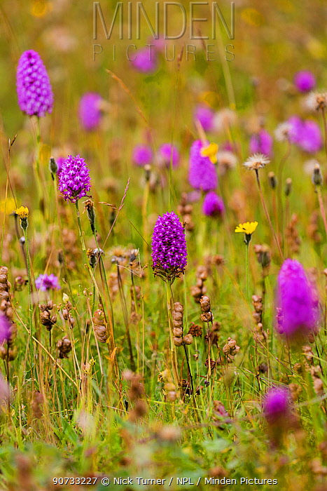 Pyramidal orchid (Anacamptis pyramidalis) on land restored from arable to wildflower rich grassland, Syreford, Gloucestershire, UK. July.