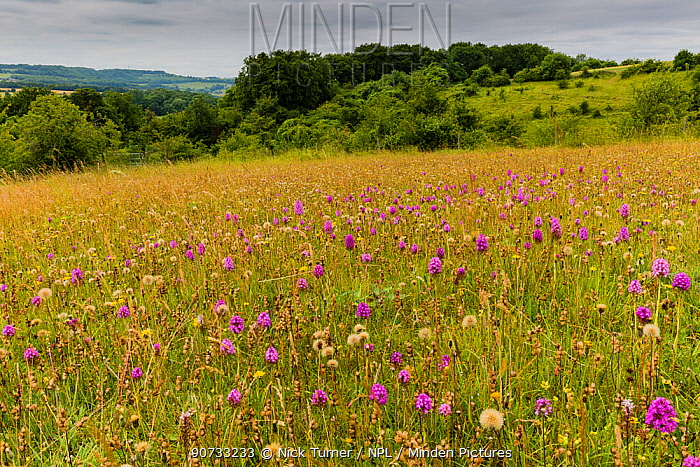 Pyramidal orchid (Anacamptis pyramidalis) on land restored from arable to wildflower rich grassland, Syreford, Gloucestershire, UK. July 2015.