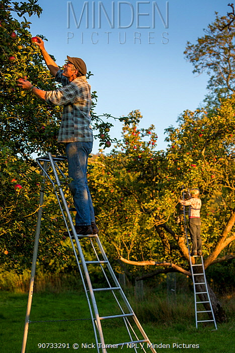 Apple (Malus domestica) picking at Day's Cottage Heritage Orchard, Brookthorpe, Gloucestershire. Old orchards provide vital habitat for flora and fauna. September 2015.