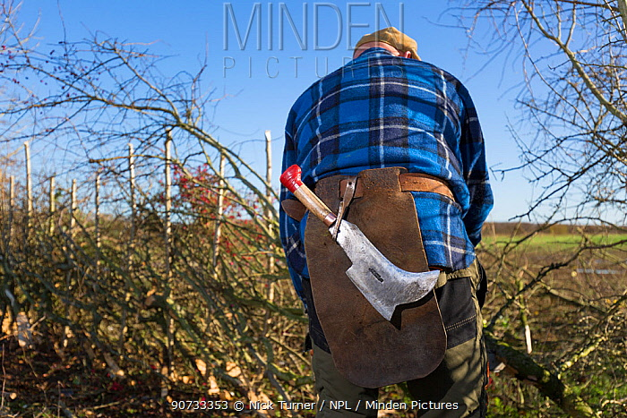 Traditional hedge laying, Fosse Cross, Gloucestershire, UK. November 2015.