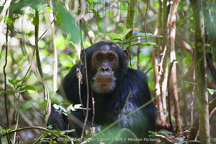 Eastern Common Chimpanzee (Pan troglodytes schweinfurthii) male, Budongo Forest Reserve, Uganda.