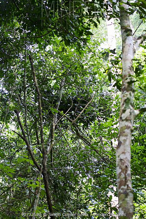 Eastern Common Chimpanzee (Pan troglodytes schweinfurthii) nest in tree. Budongo Forest Reserve, Uganda.