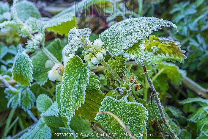 Minden Pictures Stock Photos White Dead Nettle Lamium Album In