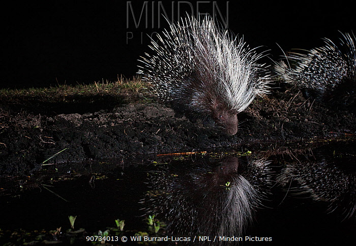 Porcupine, (Hystrix africaeaustralis) drinking from pool, taken with remote camera. Liuwa Plain National Park, Zambia. November
