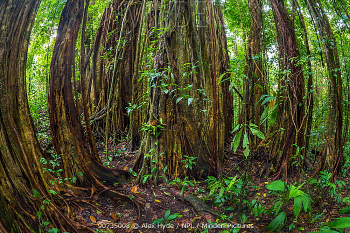 Strangler fig (Ficus zarazalensis) a species endemic to the Osa Peninsula, growing in lowland rainforest, Osa Peninsula, Costa Rica