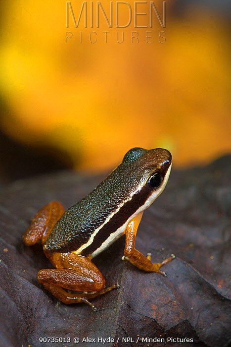 Lowland rocket frog (Silverstoneia flotator) Osa Peninsula, Costa Rica.