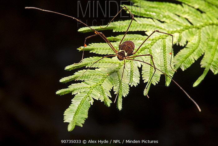 Harvestman (Opiliones) Osa Peninsula, Costa Rica