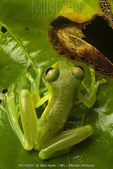 Emerald glass frog (Centrolenella prosoblepon) male, Osa Peninsula, Costa Rica