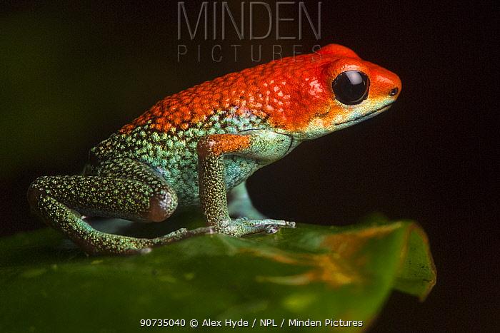 Granular poison frog (Oophaga granulifera) Osa Peninsula, Costa Rica. Vulnerable IUCN Red List species.