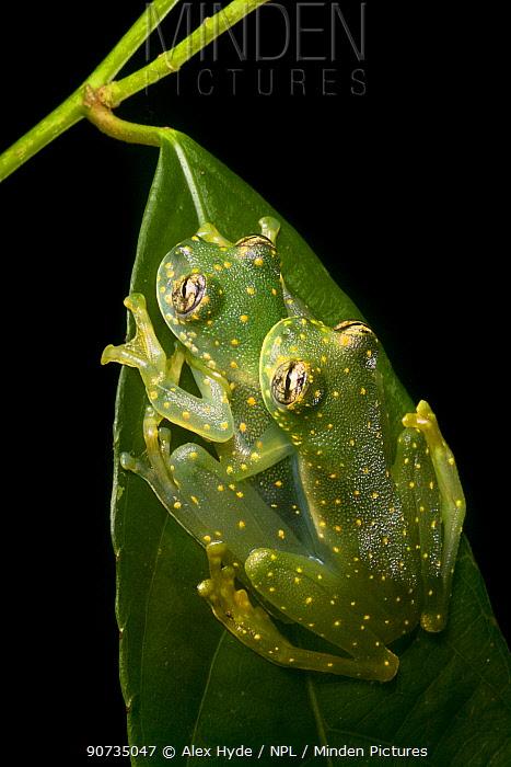 Yellow-flecked glassfrogs (Sachatamia albomaculata) mating pair, Osa Peninsula, Costa Rica