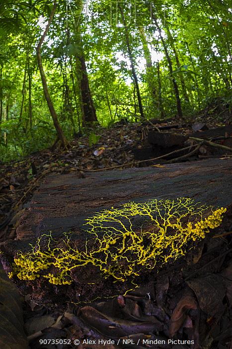 Slime mould (Physarum sp) plasmodium growing across rotting wood, Osa Peninsula, Costa Rica