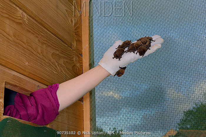 Samantha Pickering releasing young Common pipistrelle bats (Pipistrellus pipistrellus) she has reared  since their rescue as pups into a flight cage at dusk, North Devon Bat Care, Barnstaple, Devon, UK, August. Model released.