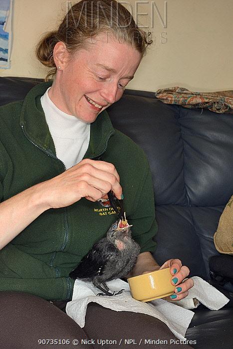 Samantha Pickering feeding a rescued abandoned Jackdaw chick (Corvus monedula), North Devon Bat Care, Barnstaple, Devon, UK, June. Model released