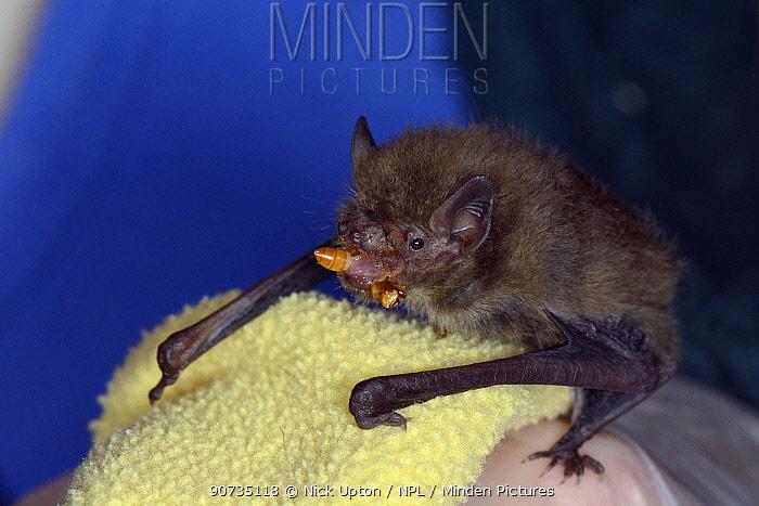 Rescued abandoned Soprano pipistrelle bat pup (Pipistrellus pygmaeus) eating a mealworm, North Devon Bat Care, Barnstaple, Devon, UK, August. Model released