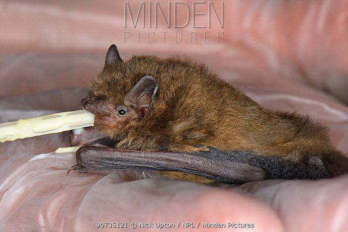 Rescued abandoned Soprano pipistrelle bat pup (Pipistrellus pygmaeus) feeding from a pipette, North Devon Bat Care, Barnstaple, Devon, UK, August. Model released